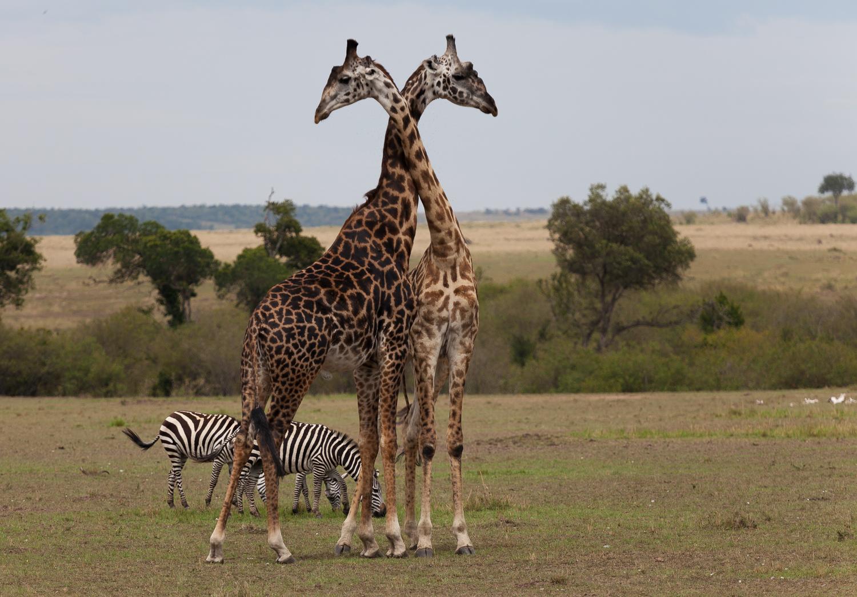 giraffe penis size