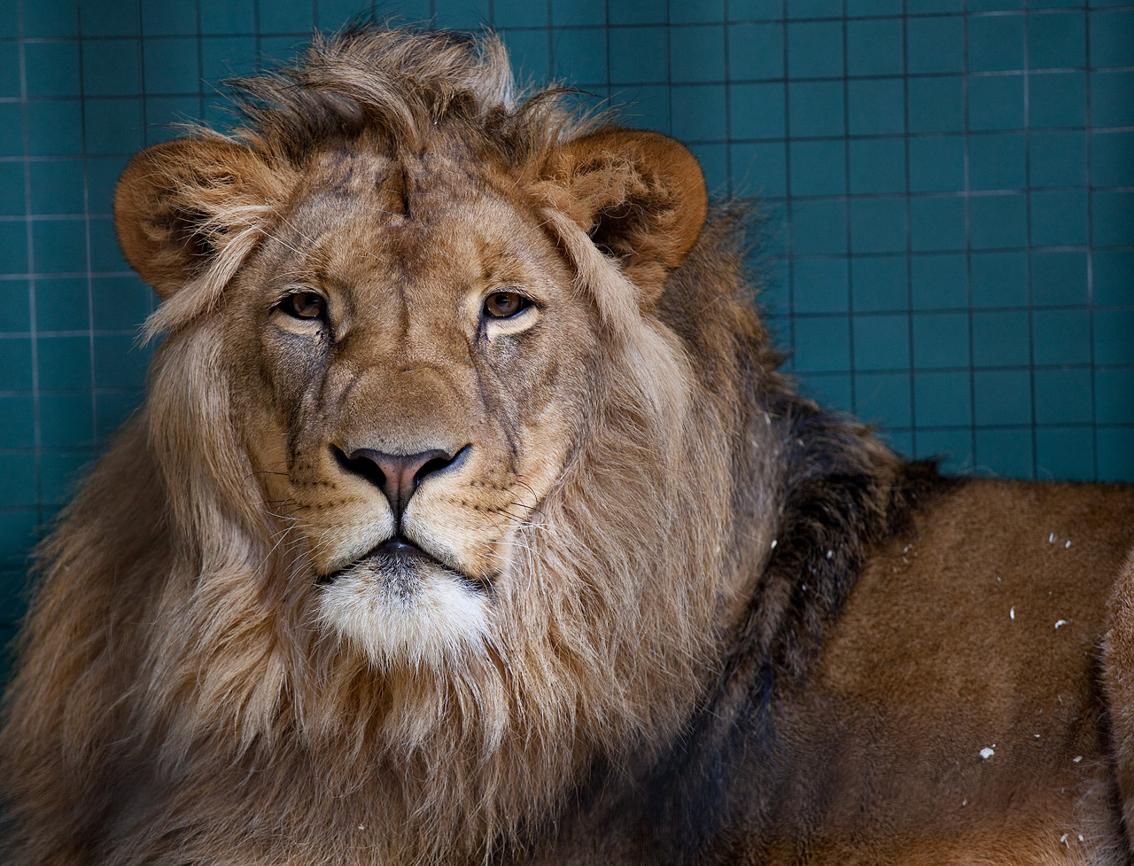 Lion male løve the lion panthera leo is one of the four big cats in