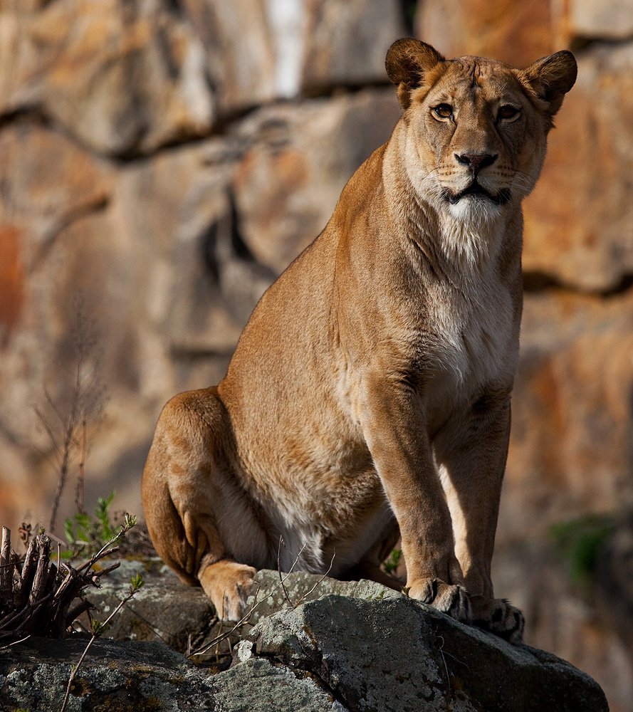 penis løve