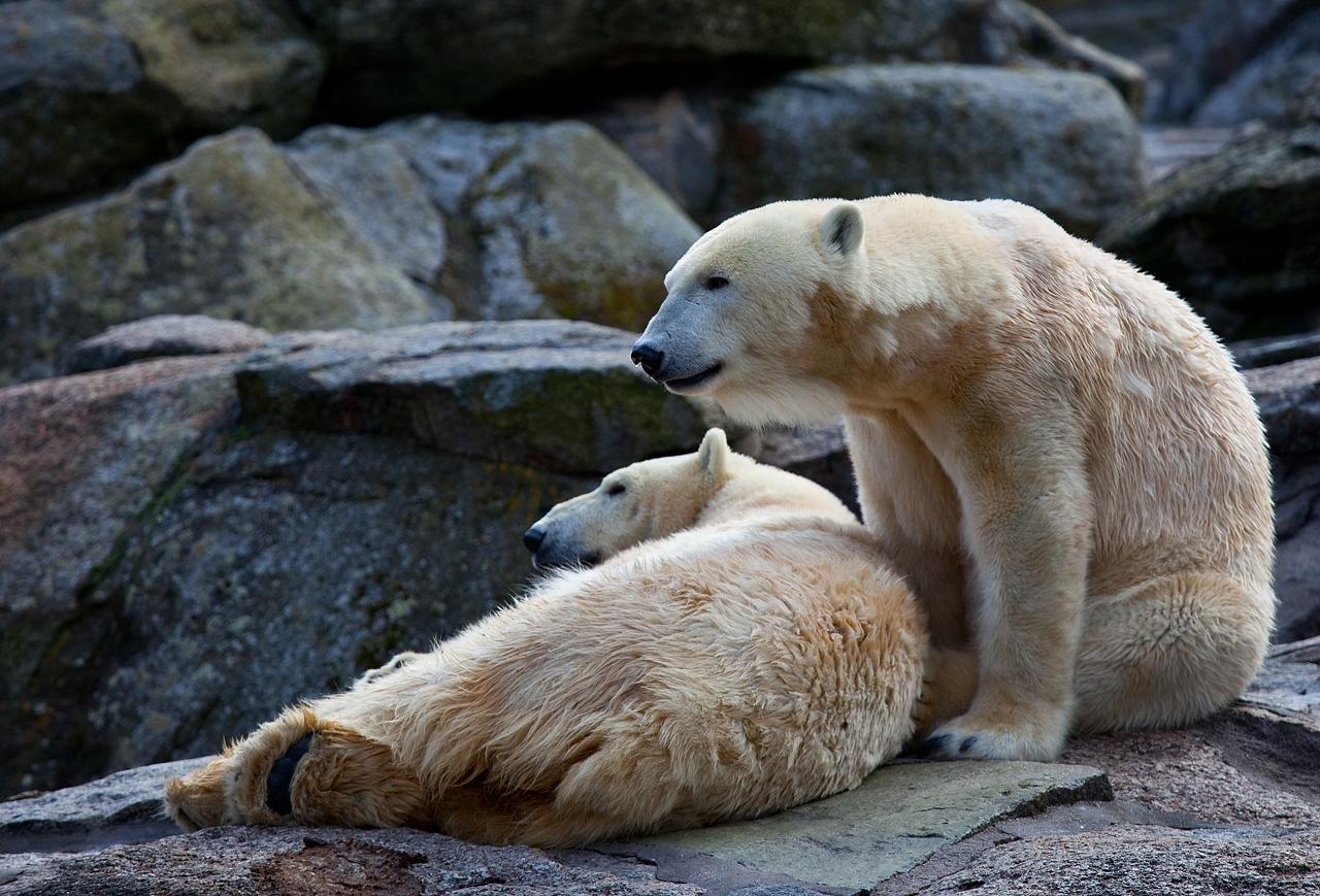 essay on polar bears